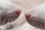 Носы крыс[4]