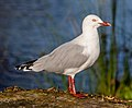 Red-billed gull, Red Zone, Christchurch, New Zealand.jpg