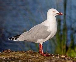 Red-billed gull, Red Zone, Christchurch, New Zealand.jpg