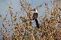 Red-billed hornbill, Ruaha National Park (3) (28404613034).jpg