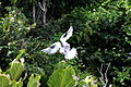 Red-billed tropicbird (Phaethon aethereus mesonauta) landing.jpg