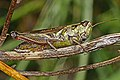 Red-legged Grasshopper - Melanoplus femurrubrum, Meadowood Farm SRMA, Mason Neck, Virginia.jpg