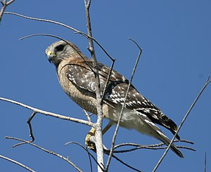 Saltonstall Mountain - Red-shouldered Hawk