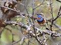 Red-spotted bluethroat (Luscinia svecica) 02.jpg
