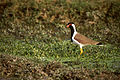Red-wattled Lapwing (Vanellus indicus) (20783931906).jpg