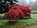 Red Leaves in the Rain, Batsford Arboretum (2) - geograph.org.uk - 1538995.jpg