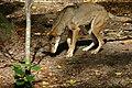 Red Wolf (3673822104).jpg