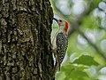 Red bellied woodpecker in Central Park (15864).jpg