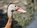 Red billed whistling duck (14355523296).jpg