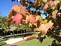 Red maple (Acer rubrum) Close Up View.jpg