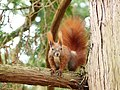 Red squirrel on tree branch front.jpg