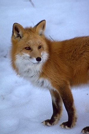 Sierra Nevada red fox - An individual photographed in September, 2010