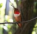 Redgold throtated hummingbirg.jpg