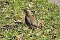 Redwing (Turdus iliacus) - geograph.org.uk - 1150744.jpg