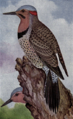 Reed-northern-flicker.png