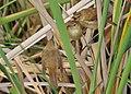 Reed Warbler juveniles by Gary Tate.jpg
