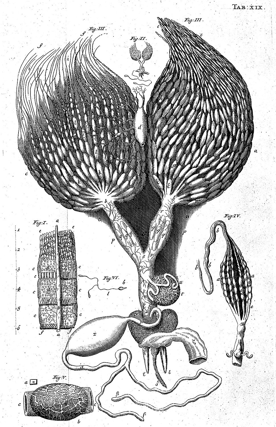 Reproductive organs of the bee. Wellcome L0000176