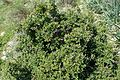 Rhamnus lycioides kz2.jpg