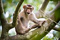 Rhesus Macaque monkey the great pose.jpg