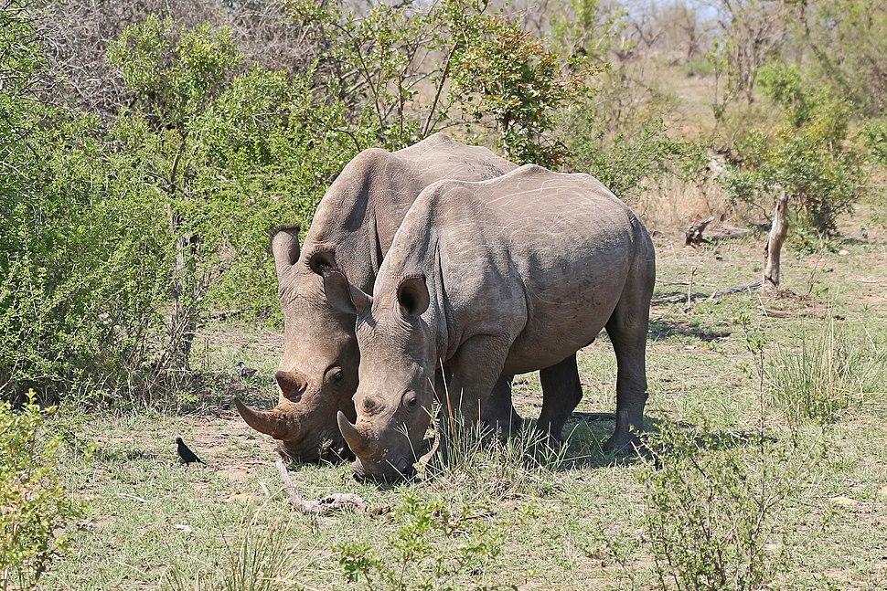Rhinoceros in Kruger National Park 03