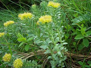 Rhodiola rosea - Image: Rhodiola rosea a 2