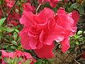 Rhododendron 'Ambrosiana' 02.JPG