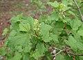 Ribes alpinum kz02.jpg