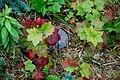 Ribes americanum (14812261140).jpg