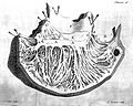 Right ventricle interior, circa 1749. Wellcome L0000262.jpg
