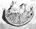 Right ventricle interior, circa 1749. Wellcome L0000262.jpg
