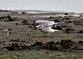 River Tern (Sterna aurantia) with a Snail W IMG 9682.jpg