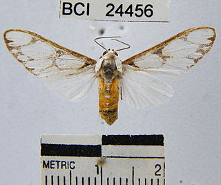 <i>Robinsonia sanea</i> species of insect