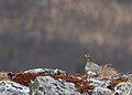 Rock ptarmigan (Lagopus muta) 03.jpg