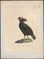 Rollulus roulroul - 1825-1834 - Print - Iconographia Zoologica - Special Collections University of Amsterdam - UBA01 IZ17100263.tif