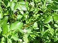Rorippa nasturtium-aquaticum Planta 2011-5-22 SierraMadrona.jpg