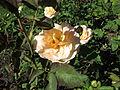 Rosa 'Apricot Nectar' 01.jpg