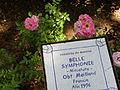 Rosa 'Belle Symphonie' Meilland 1996 RPO.jpg