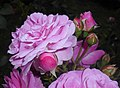 Rosa Lavender Lassie 2016-07-19 3041.jpg