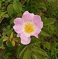 Rosa dumalis3.JPG