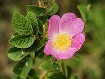 Rosa tomentosa (flower).jpg