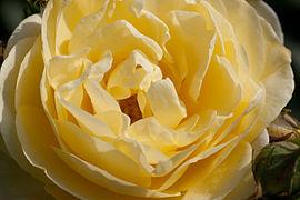 Rose, Golden Border - Flickr - nekonomania (7).jpg