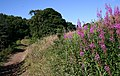 Rosebay Willowherb on the Welland Hills - geograph.org.uk - 889031.jpg
