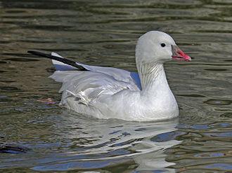 Ross's goose - Ross's goose swimming