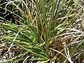 Ross sedge, Carex rossii (17620456660).jpg