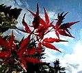 Roter Ahorn - panoramio.jpg