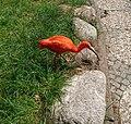 Roter Ibis (Eudocimus ruber) - 3.jpg
