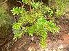 Rubia fruticosa - Tasaigo (Marianne Perdomo)