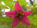 Rubus spectabilis 1.jpg