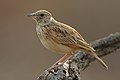 Rufous-naped Lark, Mirafra africana, at Pilanesberg National Park, Northwest Province, South Africa (30193250987).jpg