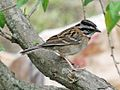 Rufous collared Sparrow RWD5.jpg